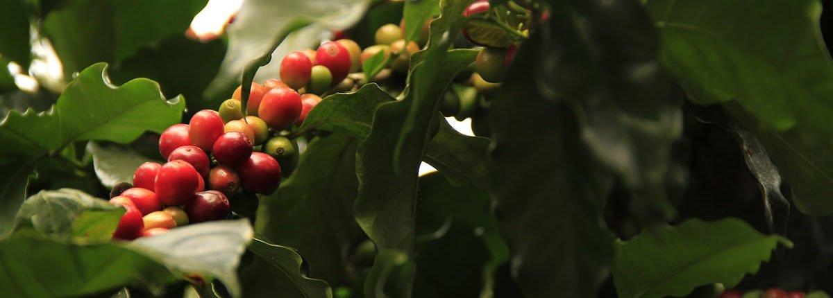 Die Kaffeesorten der Welt