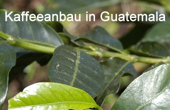 Kaffeeanbau in Guatemala