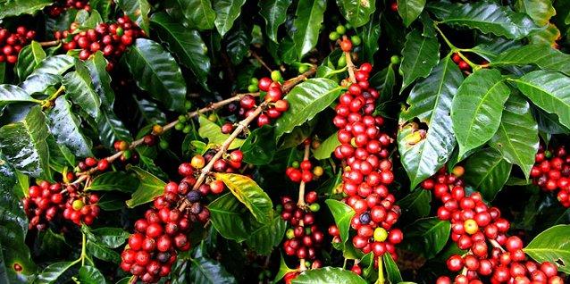 Kaffeestrauch